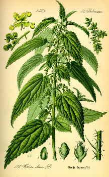 hemp urtica plant image