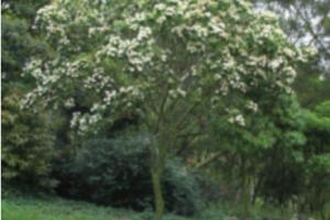 Tree Reevesia Thyrsoidea Detail Image