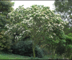 Tree Reevesia Thyrsoidea Image